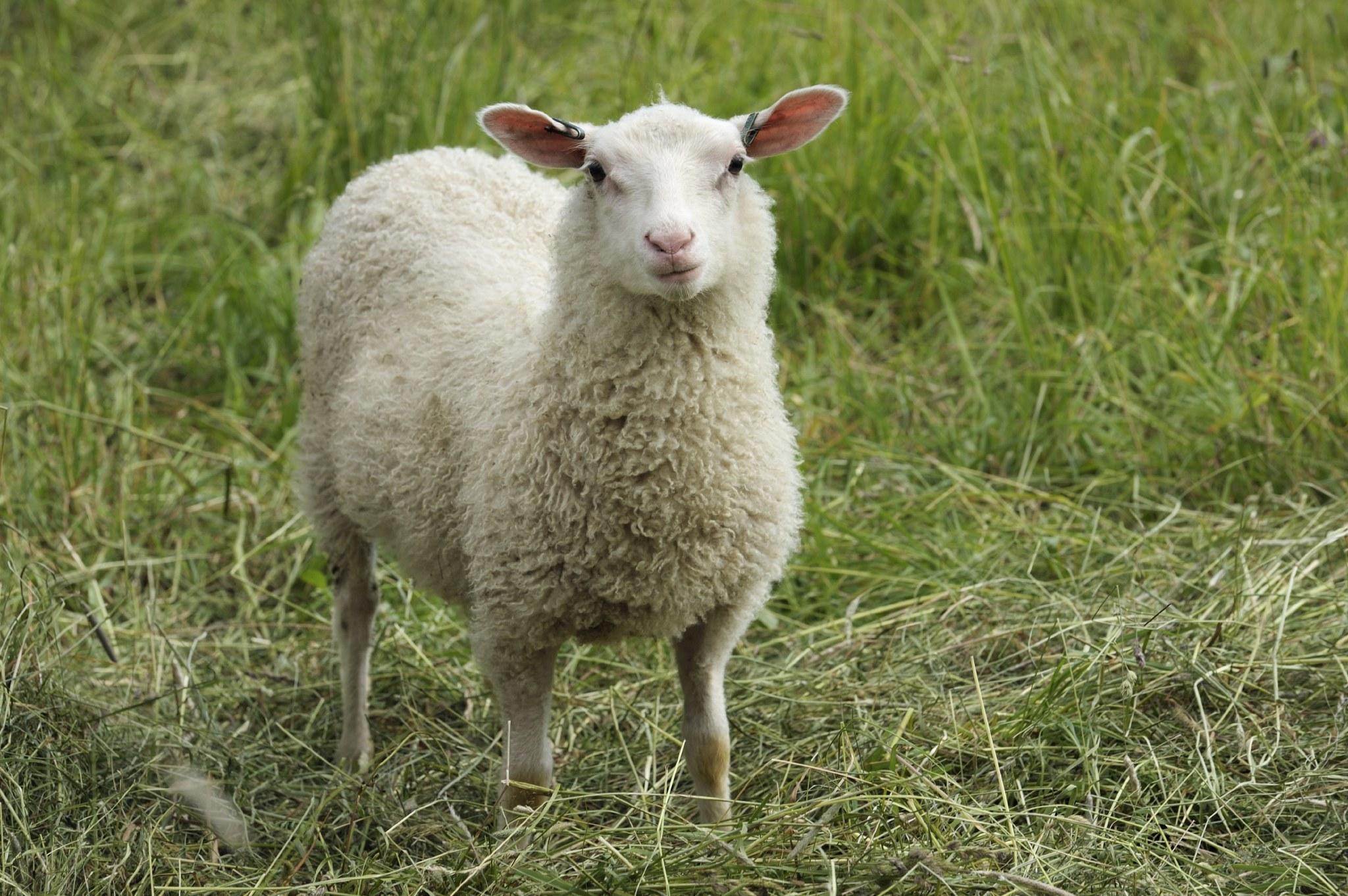 lammas katsoo kameraan